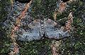 Geometrid moth (10211156355).jpg