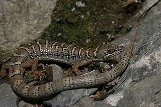 <i>Gerrhonotus parvus</i> Species of lizard