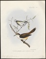 Gerygone flaviventris - 1845-1848 - Print - Iconographia Zoologica - Special Collections University of Amsterdam - UBA01 IZ16200216.tif