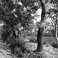 Geschilde kurkeiken in een bosje, Bestanddeelnr 254-0677.jpg