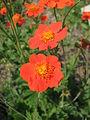 Geum coccineum flowers 05.JPG