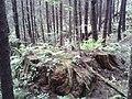 Giant Stumps - panoramio.jpg