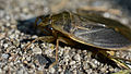 Giant Water Bug (Belostomatidae) - London, Ontario 05.jpg