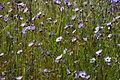 Gilia tricolor04.jpg