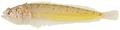 Gillellus uranidea - pone.0010676.g141.png