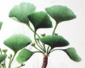 GinkgoFemale.png