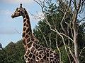 Giraffe - dublin zoo (7816730288).jpg
