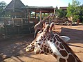 Giraffe herd at Cheyenne Mountain Zoo.jpg