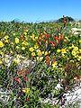 Gladiolus cunonius plant.JPG
