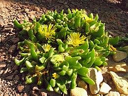Glottiphyllum depressum