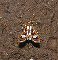 Glyphodes bivitralis (Crambidae) (24597080411).jpg