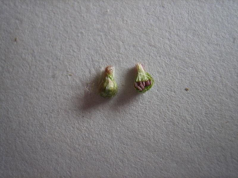 """Fleur """"épanouie"""", involucre en forme de poire, vu de l'extérieur, et en coupe laissant voir les fruits, avec leurs parachutes repliés. La coloration rose a disparu. Ce stade est très éphémère, les bractées vont s'ouvrir pour laisser échapper les fruits, et finalement former une étoile à plus de 12 branches."""