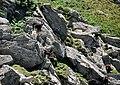 Goats on Lundy.jpg