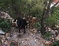 Goats on Phnom Krom.jpg