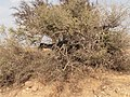 Goats on argan tree - panoramio.jpg