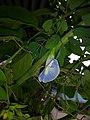 Gokarna flower.jpg