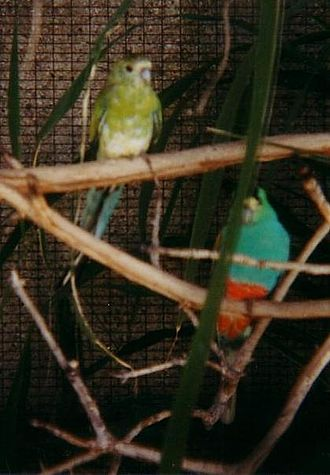 Golden-shouldered parrot - Male and female golden-shouldered parrots in an aviary at the Queensland Museum, showing the salmon colour of the male's lower belly (photo 2004)