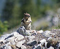 Golden-mantled ground squirrel Sulphur Mountain Banff 3 (222378710).jpg