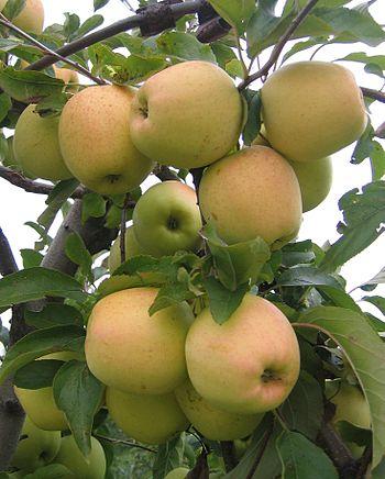 English: Fruits of apple cultivars - Golden De...