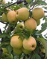 GoldenD cultivar.jpg