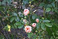 Golden Gate Park Rose Garden 15 2017-06-12.jpg