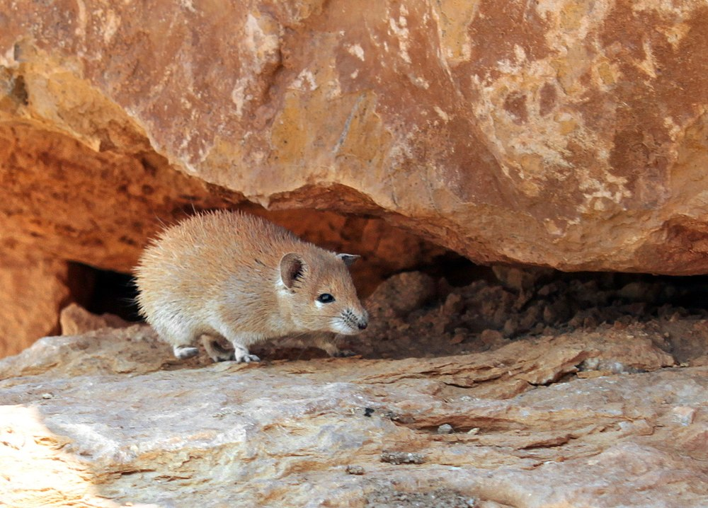 The average adult weight of a Golden spiny mouse is 42 grams (0.09 lbs)