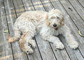 Goldendoodle-On-Porch.jpg