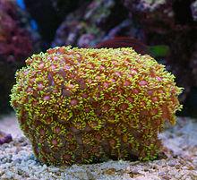 Goniopora wikipedia a variety of goniopora sp goniopora often called flowerpot coral mightylinksfo