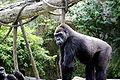 Gorilla 017.jpg
