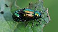 Grüner Sauerampferkäfer Gastrophysa viridula 2911.jpg