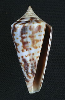 <i>Conus regularis</i> species of mollusc