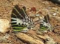 Graphium antiphates - Five-bar Swordtail 02.jpg