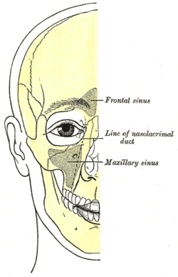 Gray1199png for Floor of the maxillary sinus
