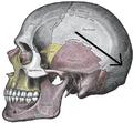 Gray188-Lambdoid suture.png