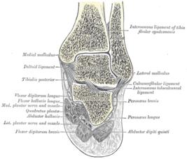 Голеностопный сустав кости строение поражен височно-нижнечелюстной сустав