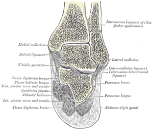 Peroneus brevis - Coronal section through right ankle and subtalar joints. (Label for Peroneus brevis is at right, third from the bottom.)