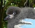 Great-winged Petrel, chick.jpg