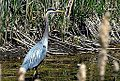Great Blue Heron (4579182367).jpg