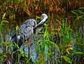 Great Blue Heron - Flickr - Andrea Westmoreland (3).jpg