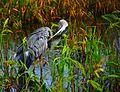 Great Blue Heron - Flickr - Andrea Westmoreland (3).jpg