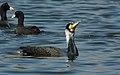 Great Cormorant Phalacrocorax carbo by Dr. Raju Kasambe DSCN3804 (6).jpg
