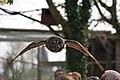Great Grey Owl flies over visitors' heads, Hawk Conservancy, Andover - geograph.org.uk - 409392.jpg