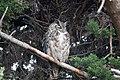 Great Horned Owl Commonweal CA 2018-10-03 15-19-42 (43914413860).jpg