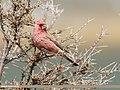 Great Rosefinch (Carpodacus rubicilla) (48139687713).jpg