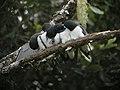 Great Woodswallow 1 (2885765834).jpg
