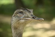 Greater rhea head with eyes closed.jpg