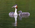 Grebes Mother and Chick (6001630489).jpg