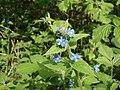 Green Alkanet - Pentaglottis sempervirens - geograph.org.uk - 1269502.jpg