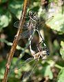 Green Marsh Hawk (Orthetrum sabina) mating W IMG 4386.jpg