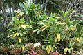 Green Ti (Cordyline Terminalis) (2857468409).jpg